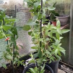 Brandende liefde planten 2,50 euro per plant